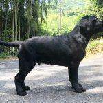 ラブラドール仔犬情報